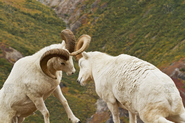 Dall's sheep (ovis dalli) rams hitting heads together during dominance display