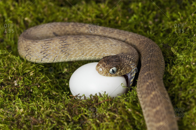A snake attacking an egg