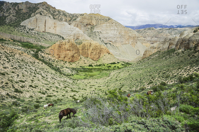 Horses graze on the bordered grassland, Nepal