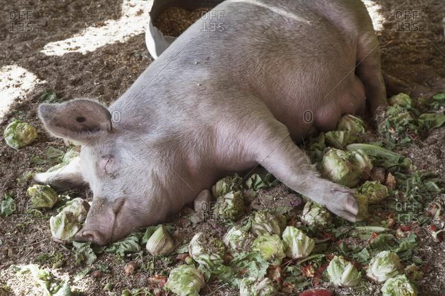 Domestic pig sleeping