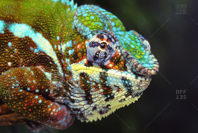 Male Panther Chameleon (furcifer pardalis)
