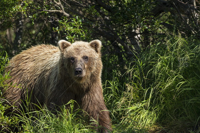 A brown bear emerges from the brush along a small stream in Katmai National Park