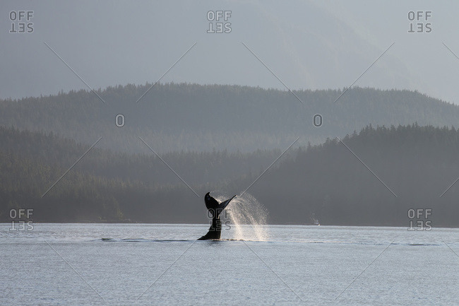 Humpback whale lays on its back and repeatedly pounds its fluke on the surface of the Inside Passage near Juneau's coastline