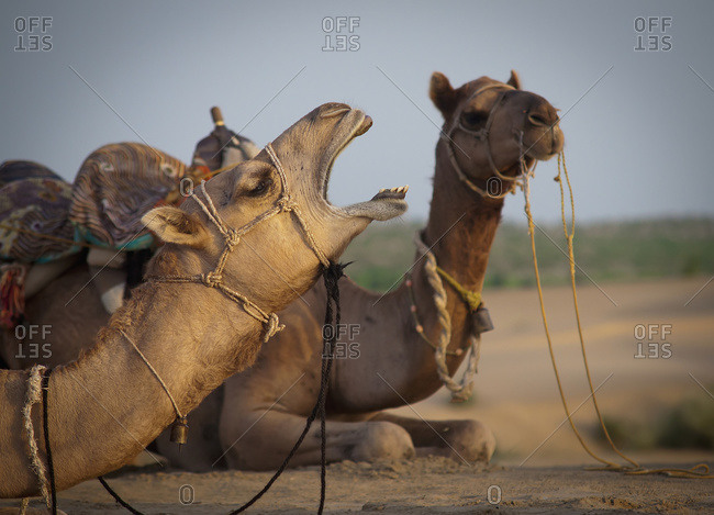 Two camels sitting on the ground