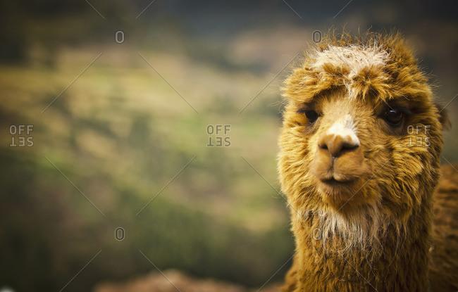 A llama, close up