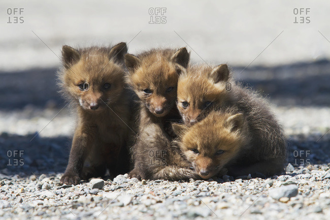 Red fox (vulpes vulpes) cubs standing on a forest road