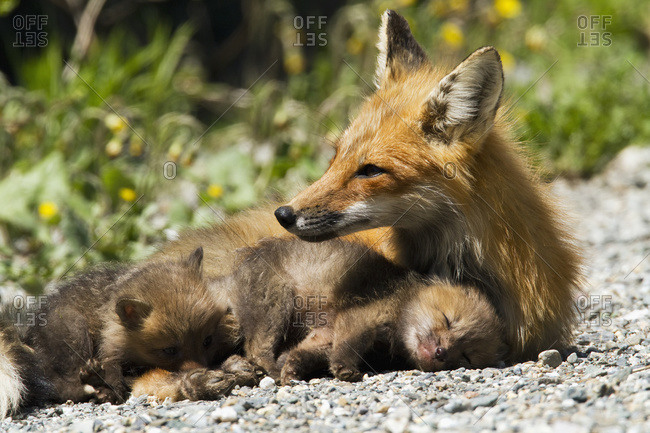 Red fox (vulpes vulpes) cubs nearby their mother on a forest road