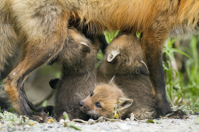 Red fox (vulpes vulpes) cubs suckling their mother on a forest road