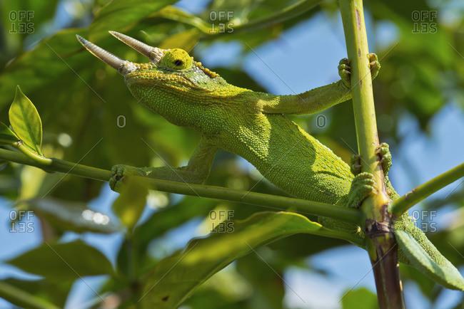 Jackson chameleon (trioceros jacksonii) hides in the coffee trees