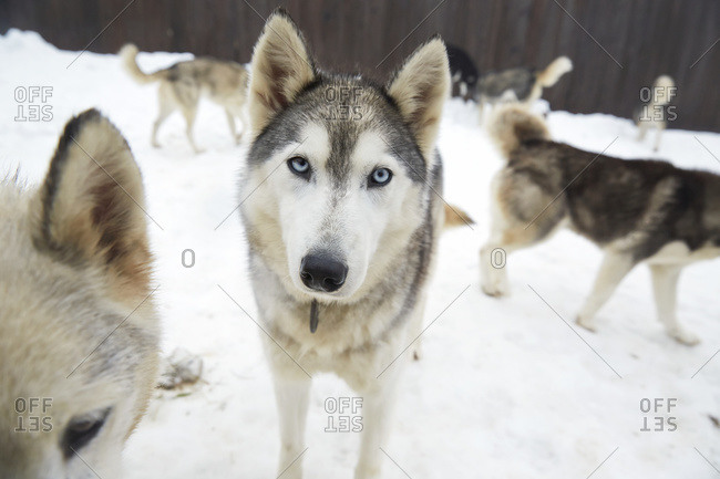 Sled dogs at the Haliburton Forest and Wildlife Reserve, Ontario