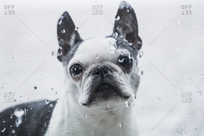 A Boston Terrier dog looks through a window with raindrops, Ontario