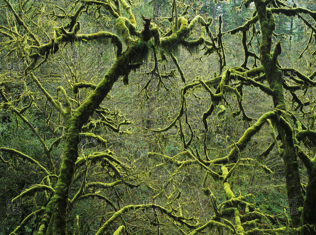 Mossy trees leafless in the winter, Oregon