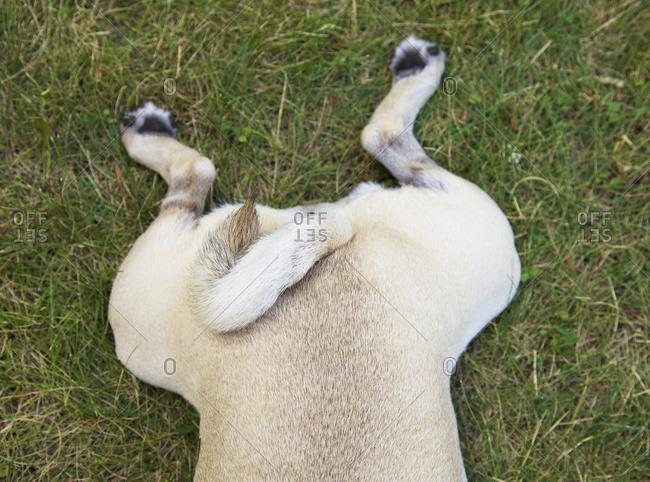 Back end of pug dog lying on grass