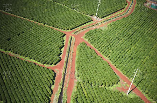 Coffee trees grow on Kauai, Port Allen, Kauai, Hawaii,