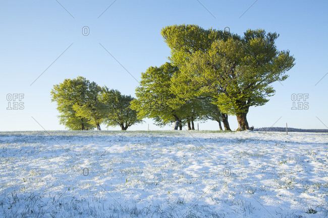 Beech trees in snow near Schauinsland, Black Forest, Germany