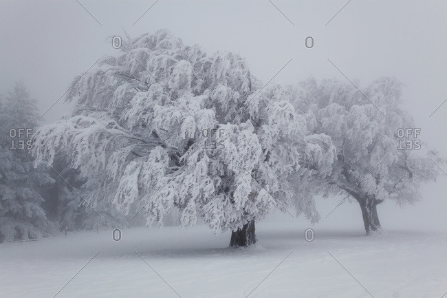 Beech trees covered in snow, near Schauinsland, Black Forest, Germany