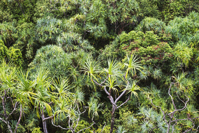 Tropical plants grow in lush profusion along the Na Pali Coast, Haena, Kauai, Hawaii,