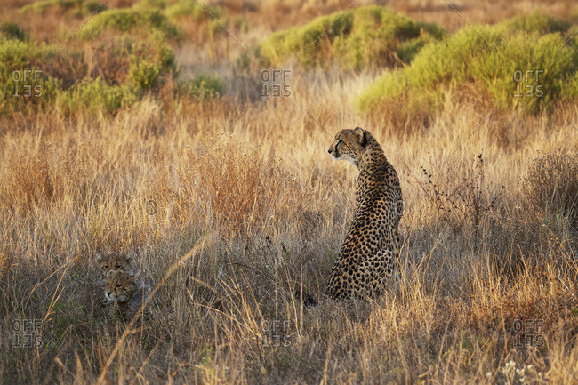 Cheetah with her babies, South Africa