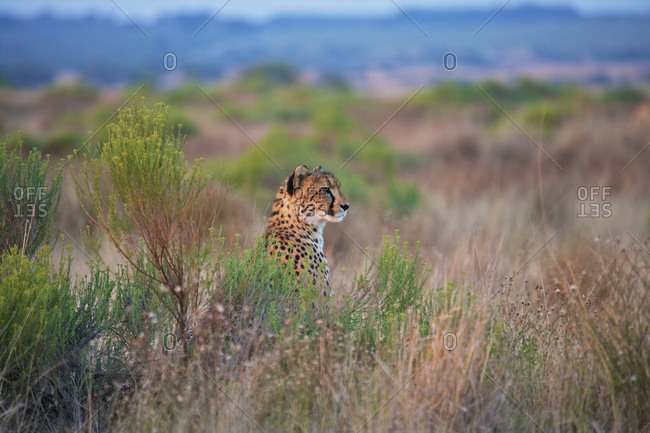 Cheetah Sitting In The Tall Grass South Africa Stock Photo