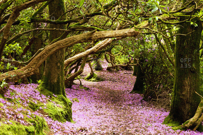 A path in a forest covered with pink flower petals, Reenagross, Kenmare, County Kerry, Ireland