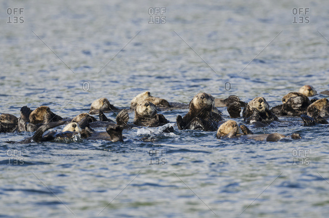 Northern Sea Otters (Enhydra lutris kenyoni) in Saginaw Bay off Kuiu Island in Tongass National Forest, Alaska