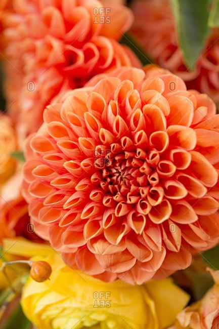 Close up of orange pom-pom dahlias in a market