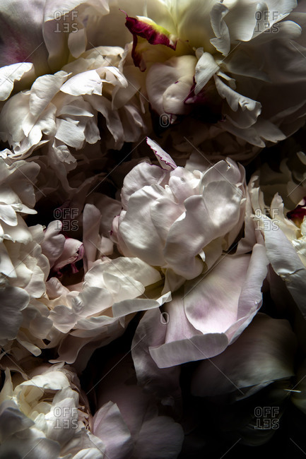 Dried peony petals - Offset Collection