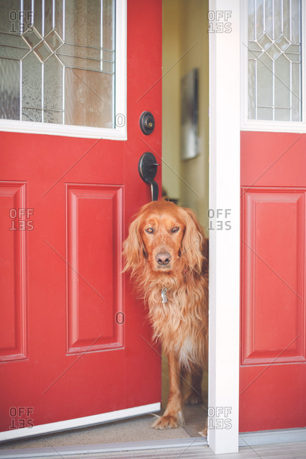 Irish setter sitting at a front door