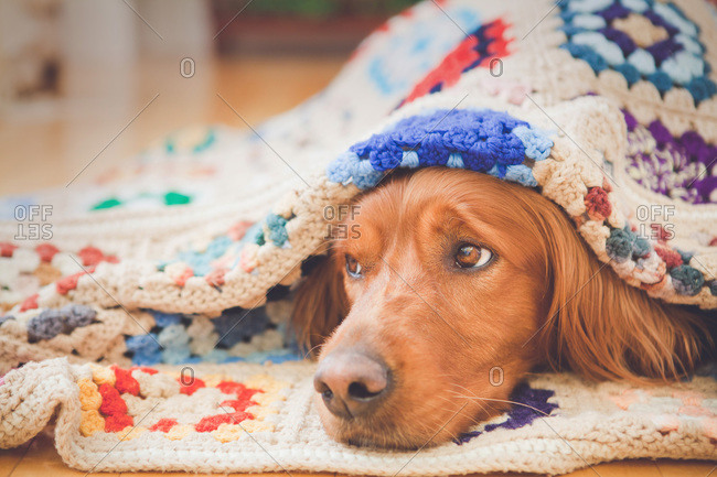Irish setter lying under a blanket
