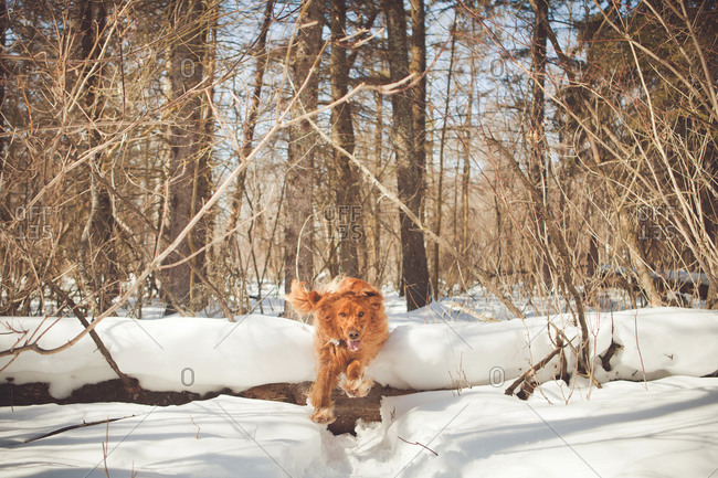 Irish setter jumping over a log in a winter forest
