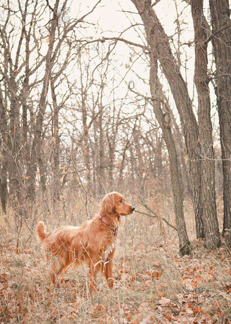 Alert Irish setter in a forest