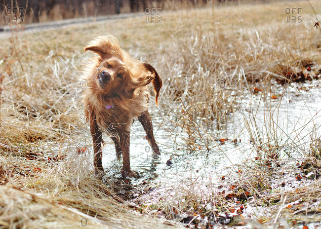 Irish setter shaking off water from a puddle