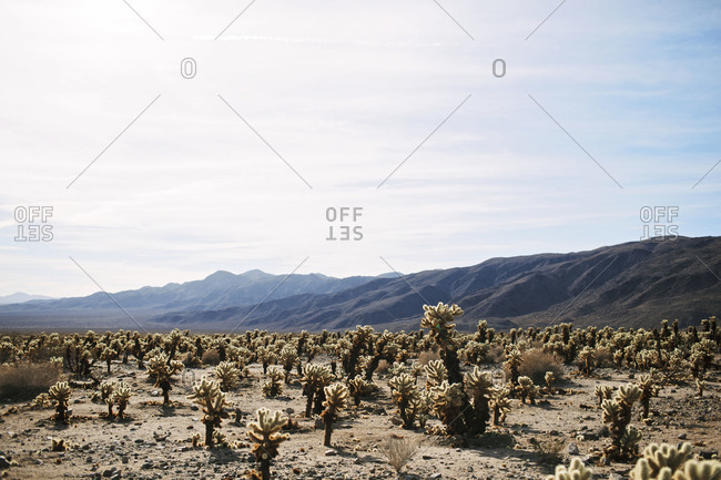 Cactus on a desert landscape