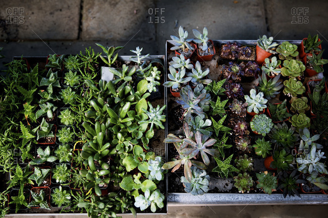 Succulents sit in tin trays
