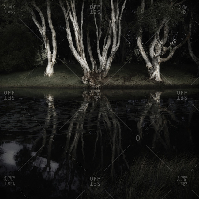 Gnarled trees on the riverbank at night