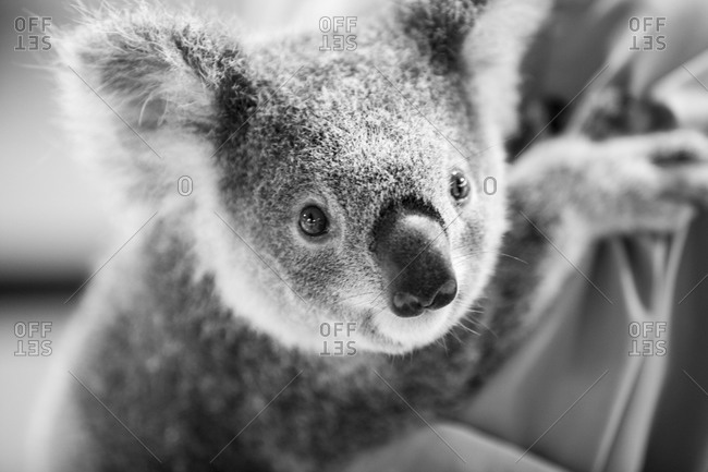 Close up of a koala