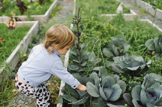 Little girl picking cabbage at a community garden