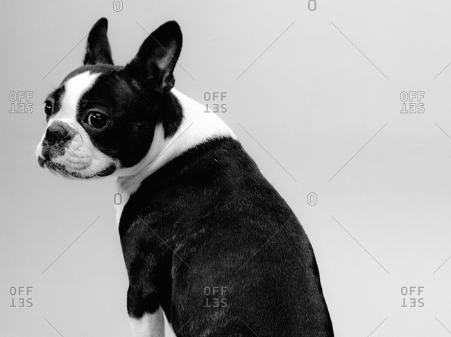 A Boston Terrier looks over its shoulder