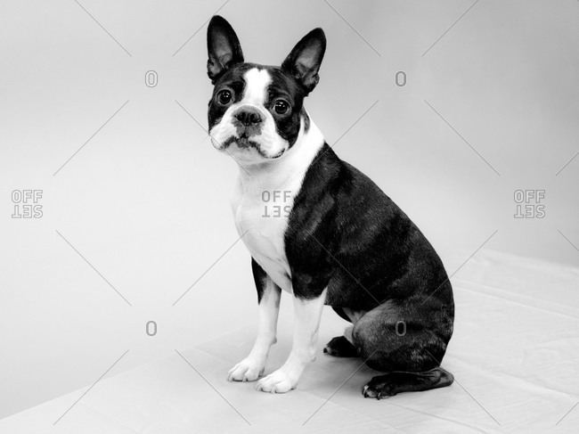 A Boston Terrier sits in a corner