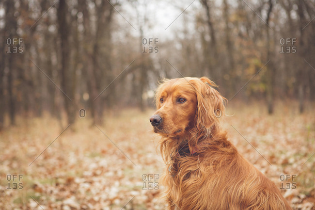 Portrait of a watchful Golden Retriever in a forest