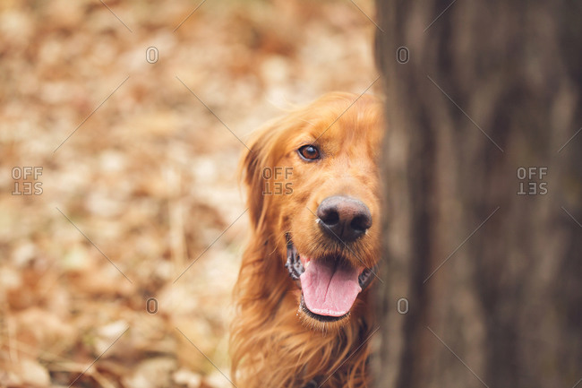 Golden retriever panting behind a tree