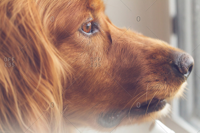 Portrait of a dog staring out of a window