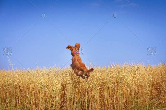 Golden Retriever jumping in a grassy field