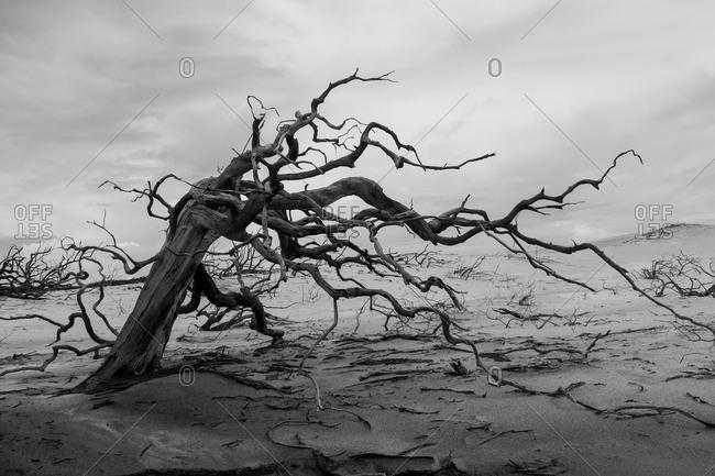 Dead trees over sand dunes
