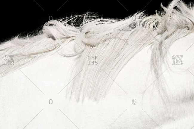 Detail of mane of a white horse