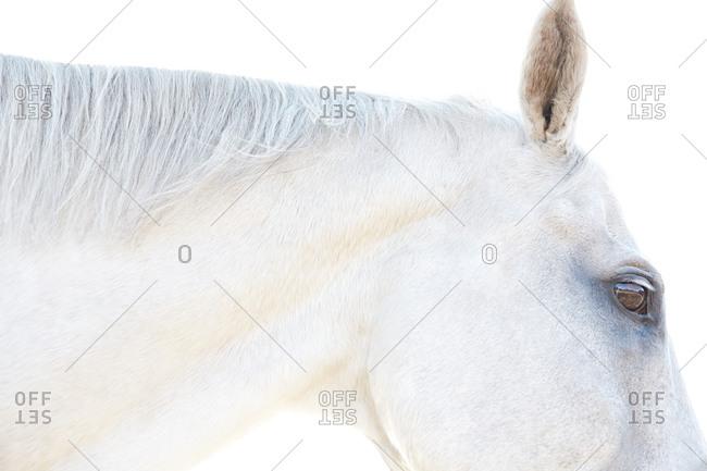 Profile of a white horse