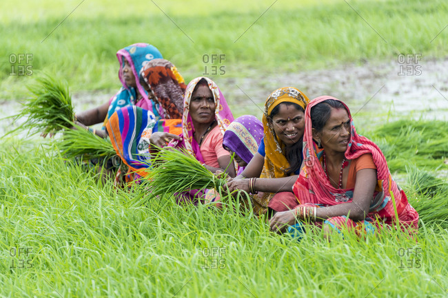 Central India - August 3, 2014: Women harvesting rice plants