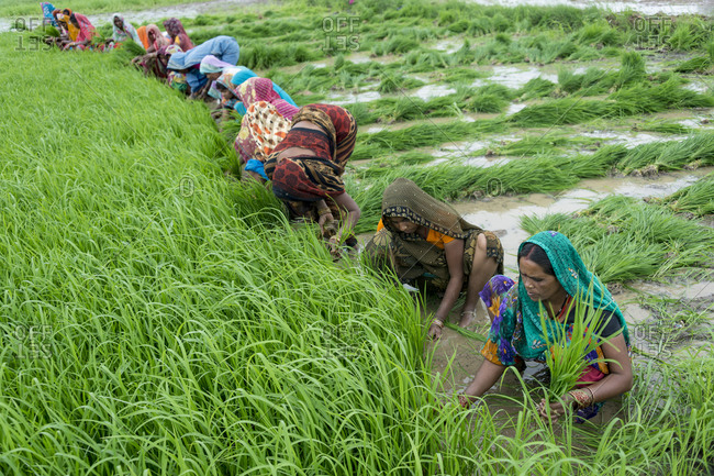 Central India - August 3, 2014: Women working in a rice field