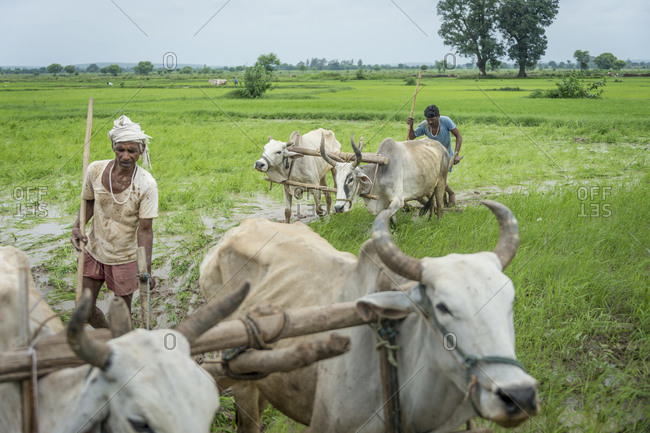 Central India - August 3, 2014: Men plowing rice fields