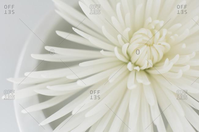 Studio shot of white flower
